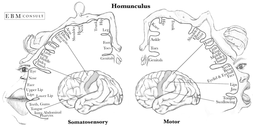 Homonculus-Sensory-and-Motor-Cortex